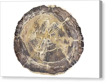 Petrified Hickory Tree Trunk Section Canvas Print by Science Stock Photography