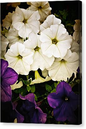 Petunias Canvas Print by Susan Kinney