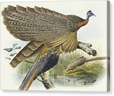 Phadianidae.  Argusianus Grayli Canvas Print by Daniel Girard Elliot