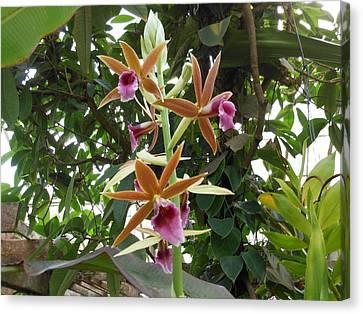Phaius Orchids Canvas Print