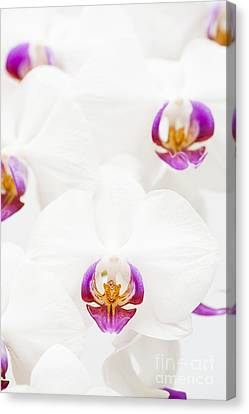 Close Focus Floral Canvas Print - Phalaenopsis by Anne Gilbert