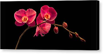 Phalaenopsis Canvas Print by Debra and Dave Vanderlaan