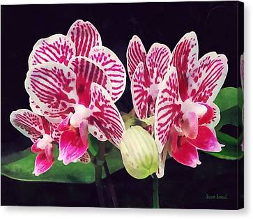 Gardening Canvas Print - Phalaenopsis Orchid Taida Little Zebra  by Susan Savad