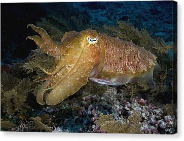 Pharaoh Cuttlefish Lombok Indonesia Canvas Print by Dray van Beeck