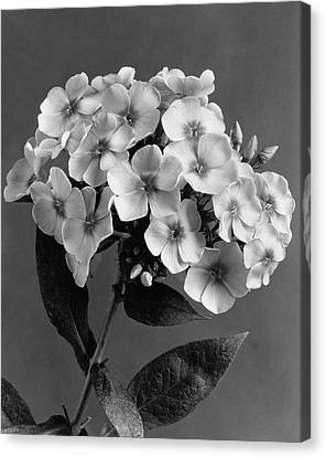 Phlox Canvas Print - Phlox Blossoms by J. Horace McFarland