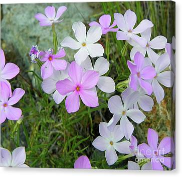 Phlox Canvas Print by KD Johnson
