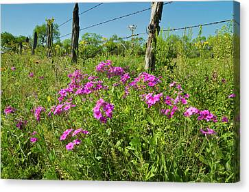 Phlox (phlox Sp Canvas Print by Larry Ditto