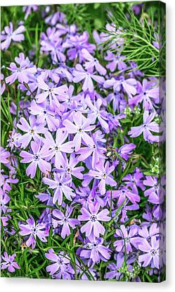 Phlox Subulata 'blue Eyes' Flowers Canvas Print by Brian Gadsby