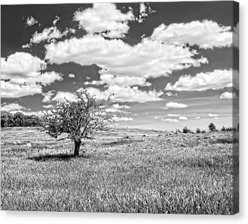 Photo Of Single Apple Tree In Maine Blueberry Field Canvas Print