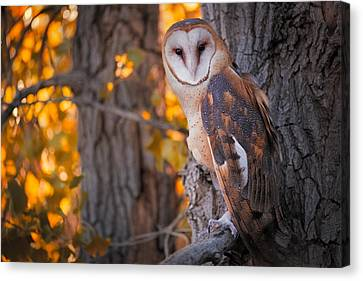 Copyright 2013 By Mike Berenson Canvas Print - Photographing A Barn Owl On His Autumn Perch by Mike Berenson
