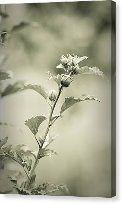 Physalis - Dreamers Garden Series Canvas Print by Marco Oliveira