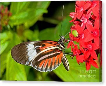 Piano Key Butterfly Canvas Print by Millard H. Sharp