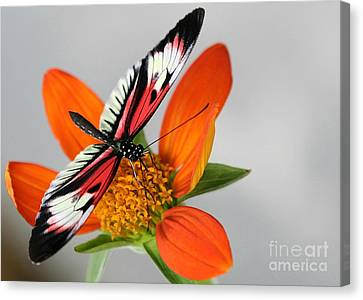 Piano Key Butterfly Up Close Canvas Print