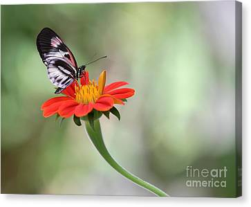 Piano Wings Butterfly Canvas Print by Sabrina L Ryan