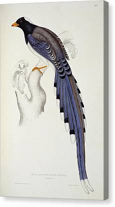 Pica Erythrorhyncha, From A Century Of Birds From The Himalaya Mountains Canvas Print by Elizabeth Gould