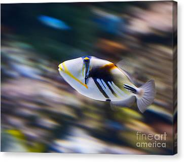 Picasso - Lagoon Triggerfish Rhinecanthus Aculeatus Canvas Print by Jamie Pham