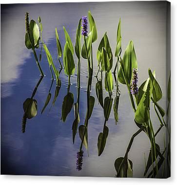 Pickerel Weed Vignetted In Black Canvas Print by Karen Stephenson