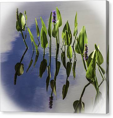 Pickerel Weed Vignetted In White Canvas Print by Karen Stephenson