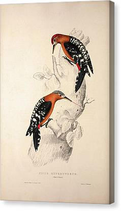 Picus Hyperythrus, Rufous-bellied Woodpecker. Birds Canvas Print by Quint Lox