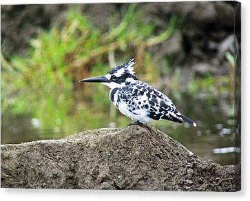 Pied Kingfisher Canvas Print