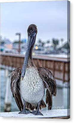 Pier Pelican Canvas Print by Edward Fielding