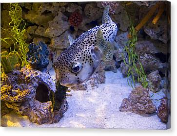 Puffer Fish Swimming Canvas Print by Chris Flees
