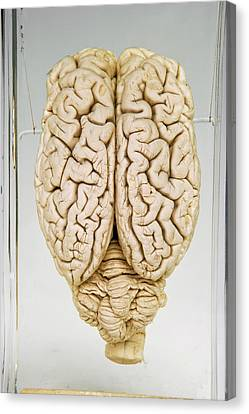 Pig Brain Canvas Print by Ucl, Grant Museum Of Zoology