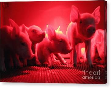 Pig Farm Canvas Print