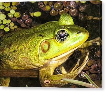 Pig Frog Canvas Print