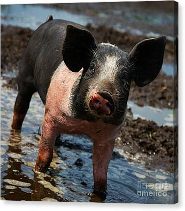 Pig In The Mud Canvas Print