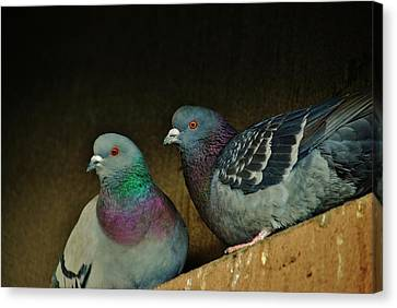 Pigeon Couple Canvas Print by Joy Bradley