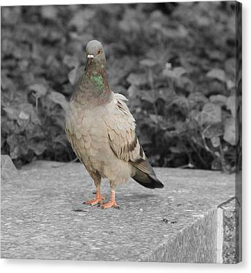 Pigeon In New York City Canvas Print by Dan Sproul