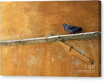 Pigeon On Ochre Wall Canvas Print by Sami Sarkis
