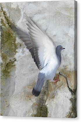 Pigeon Spreading Wings For Takeoff Canvas Print by Noreen HaCohen