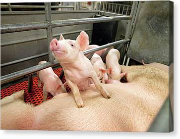 Piglets Suckling Canvas Print by Stephen Ausmus/us Department Of Agriculture