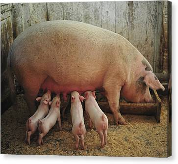 Momma Pig And Piglets Canvas Print by Terry DeLuco