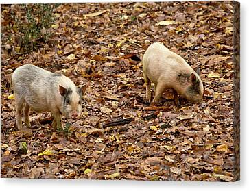 Pigs Foraging Canvas Print by Bob Gibbons