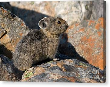 Canvas Print featuring the photograph Pika And Lichen by Chris Scroggins
