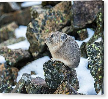 Pika In The Park Canvas Print