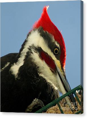 Pileated Male Woodpecker Canvas Print