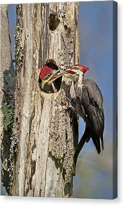 Tree Creature Canvas Print - Pileated Woodpecker And Chick by Susan Candelario
