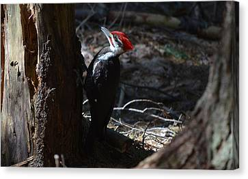 Pileated Woodpecker Canvas Print by James Petersen