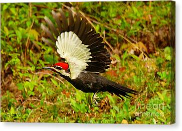West Virginia Canvas Print - Pileated Woodpecker Midflight by Tammi Connard