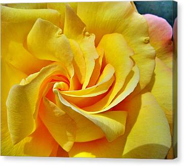 Pimp My Rose  Canvas Print by Steve Taylor