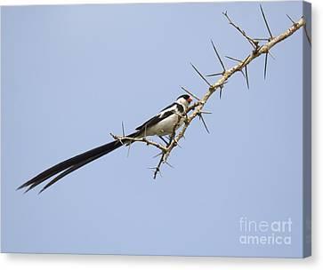 Pin-tailed Whydah  Vidua Macroura Canvas Print by Liz Leyden