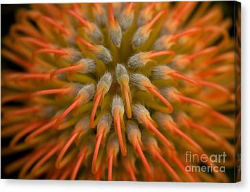 Pincushion Protea Canvas Print by Julia Hiebaum