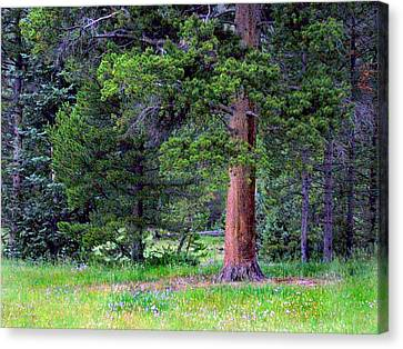 Pine At Rocky Mountain National Canvas Print by Larry Capra