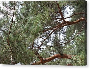 Pine Branches Canvas Print by Evgeny Pisarev