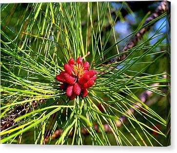 Pine Bud Canvas Print