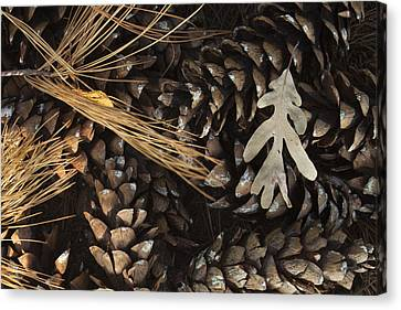 Pine Cones And Maple Leaf Canvas Print